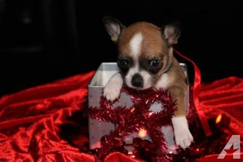 chihuahua puppies for sale in ohio tiny chihuahua puppies for sale for sale in east palestine ohio classified