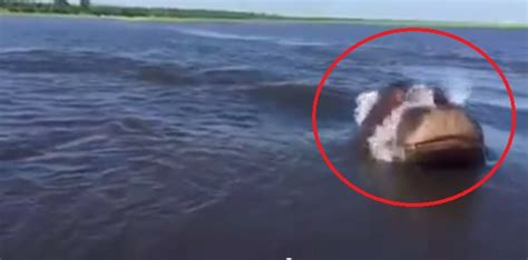 speed boat viral video hippo charges on speedboat