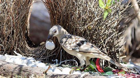 uccello giardiniere etologia corteggiamento l nel regno degli uccelli