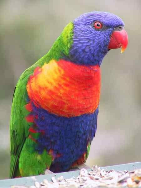 rainbow lorikeet colorful photo picture 1000 images about birds on