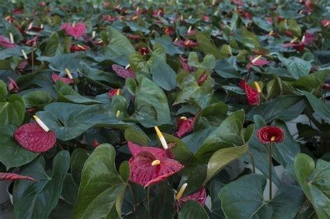 malattie piante appartamento coltivare anthurium piante appartamento coltivazione