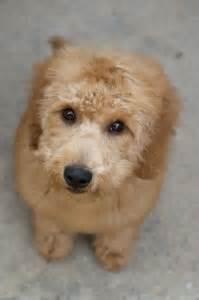 mini goldendoodles dallas puppies
