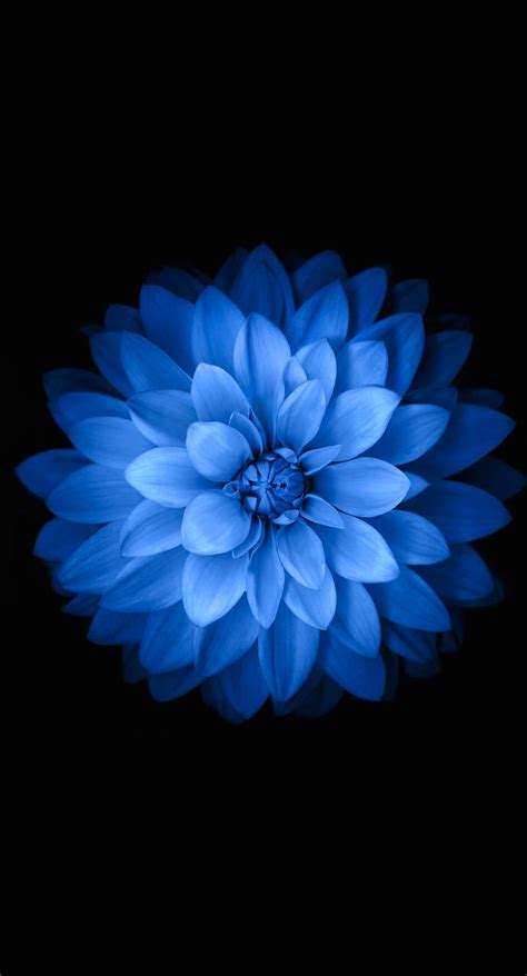 iphone wallpaper flowers iphone wallpapers blue black flower wallpaper sc iphone6splus