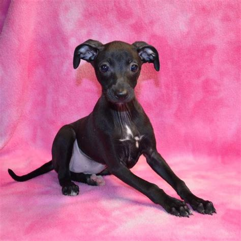 blue greyhound puppies for sale best 25 italian greyhound for sale ideas on