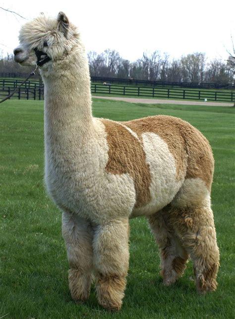 Gorgeous Alpaca From by 1000 Bilder Zu Llamas And Alpacas Auf