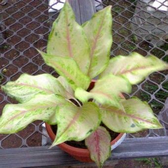 images  tanaman indoor  pinterest