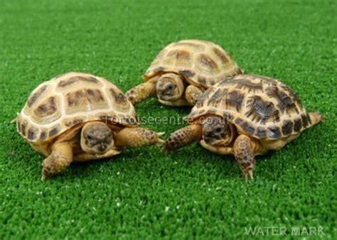 tortoise color tortoise colors turtles tortoises