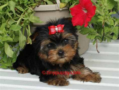 how big are teacup yorkies photo gallery of tinypuppy teacup yorkie puppies tinypuppy