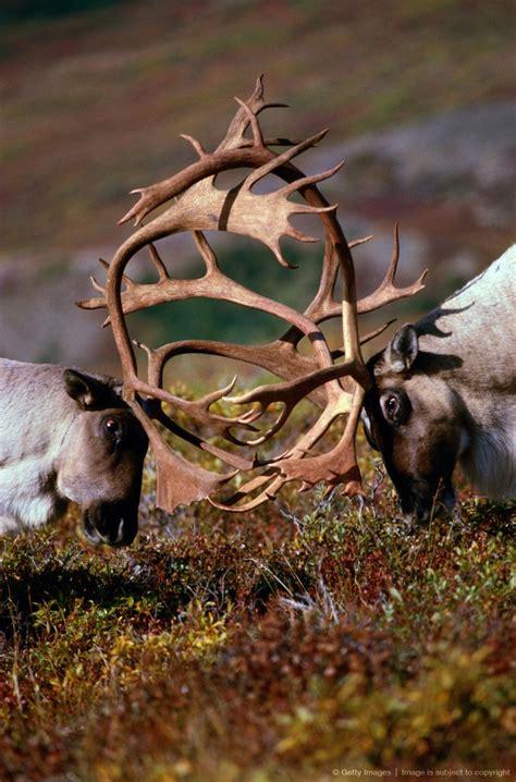 cabelas port huron best 25 caribou ideas on caribou