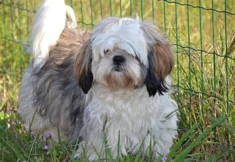 shih tzu with curly hair top 10 smallest dog breeds in the world the mysterious world