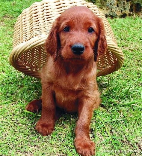 irish setter dog cute red irish setter puppy