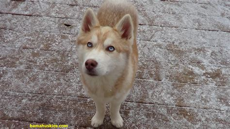 and the puppy snow dogs in alabama siberian husky puppies for sale