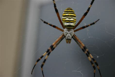Garden Spider With Yellow Stripes Australia The Bug Brothers Black And Yellow Orb Spider