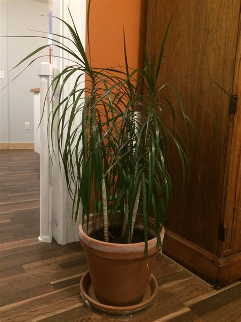 Low Light House Trees by Identification Identify Houseplant With Tall Stem And