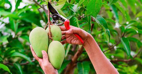 pianta di mango in vaso coltivazione mango consigli utili greenstyle