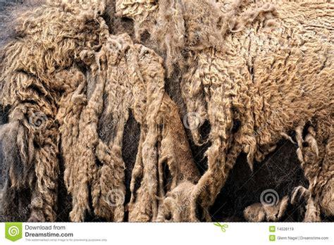 bison shedding winter coat royalty free stock images