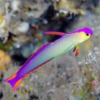 These small fish are colorful and graceful tank denizens. Their diet
