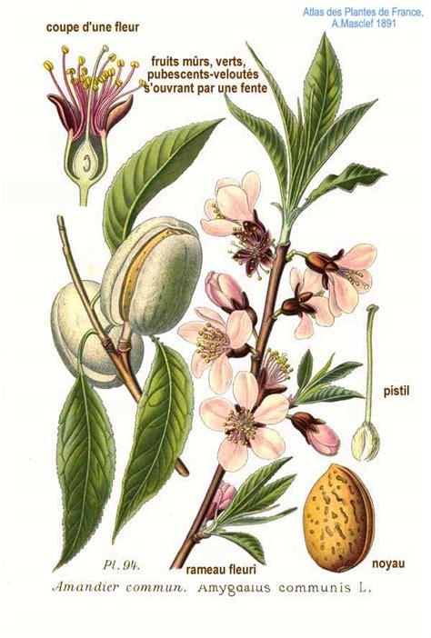 l jpg file 94 amygdalus communis l jpg wikimedia commons