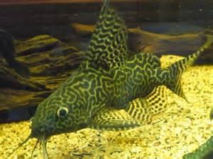 Catfish, Featherfin (Synodontis eupterus)