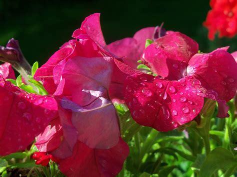 Tanaman Hias Gantung Episcias Ungu Tua gambar menanam jendela merah taman bunga bunga