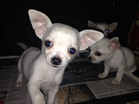 chihuahua puppies for sale chihuahua puppies for sale east