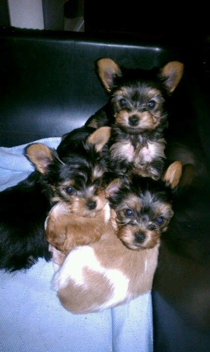 all things yorkie 1778 best images about all things yorkie on terrier