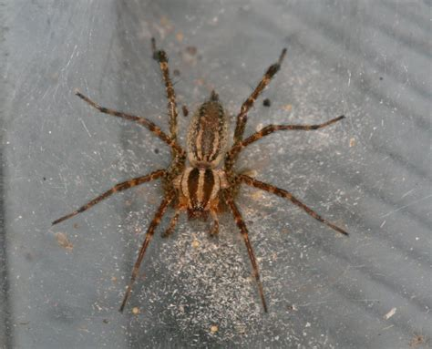 How To Build A Guest House In Backyard by Funnel Web Spider Photo Dan Nihiser Photos At Pbase Com