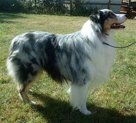 aussie breed australian shepherd aussie breed guide facts information and pictures