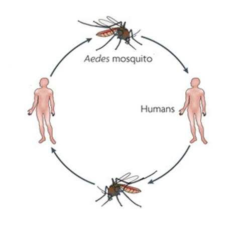 mosquito in panama the eradication of malaria and yellow fever in cuba and panama classic reprint books how do we get it symptoms