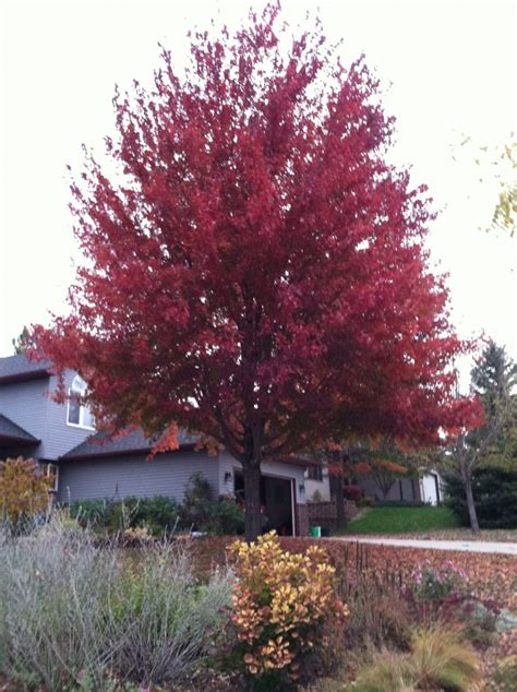 best trees and shrubs for fall color minnesota state horticultural society