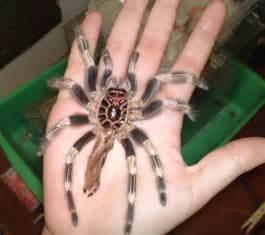 and white tarantula molting in captivity
