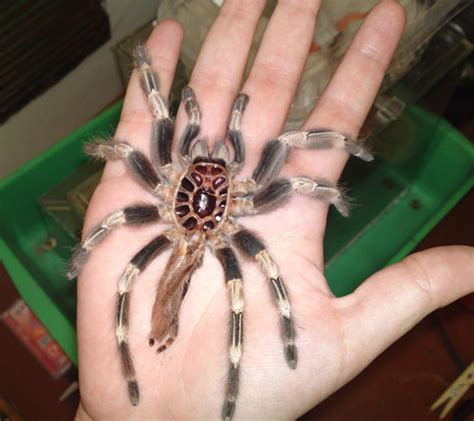 and white tarantula molting in captivity