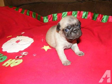 pug breeders in alabama ckc pug puppies males females for sale in gurley alabama classified