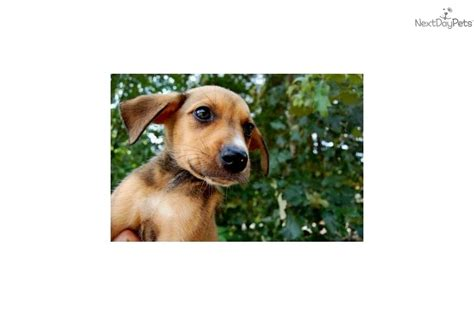 boxer mix puppies for sale near me doberman pinscher puppy for sale near winston salem carolina 4ca79c2f 2051