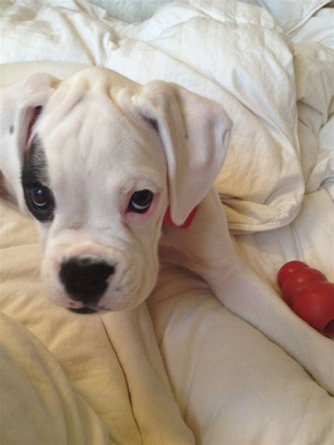 boxer puppies indiana 55 best images about for the of boxers on
