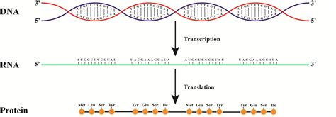 From Dna To Rna To Protein How Does It Work Rna Sequence From Dna Template