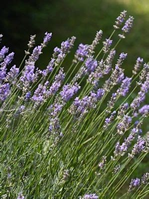 how to grow lavender outdoors pinterest