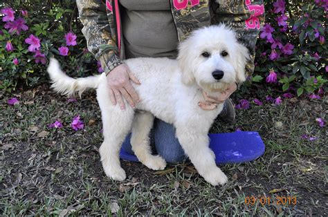 goldendoodle puppy houston just labs kennels home of labs and labradoodles of