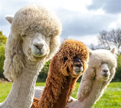 when your llama needs a haircut books cotswold alpacas sport new look for the summer