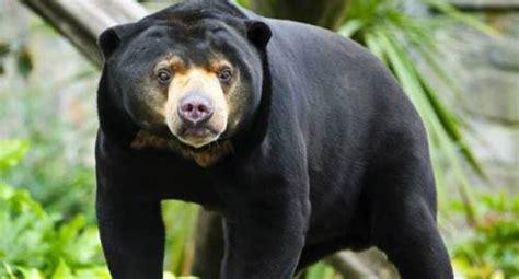 Beruang Thailan sun si beruang madu dari kalimantan get borneo
