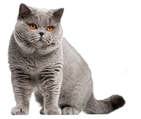 The British Shorthair Cat   Cat Breeds Encyclopedia