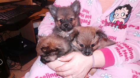 pomeranian for sale pomeranian 7 months breeds picture