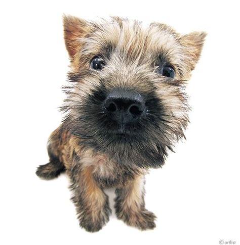toto breed 133 beste afbeeldingen cairn terrier op 235 r pups cairn terriers