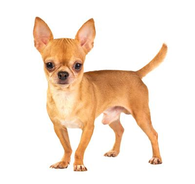 How To Stop Chihuahua From Shedding by Chihuahua Smooth Coat Breeds Purina