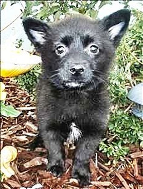 pomeranian rescue ny 1000 images about schipperke on