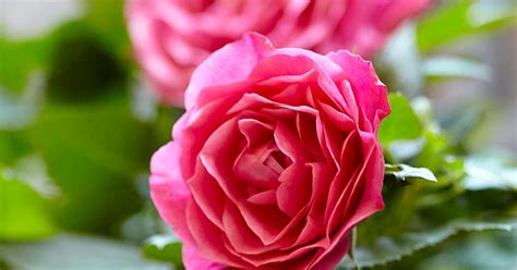 growing patio roses  containers love  garden