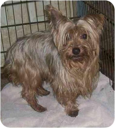 Velvet Dogs Adopted Oak Ridge Nj Silky Terrier Yorkie