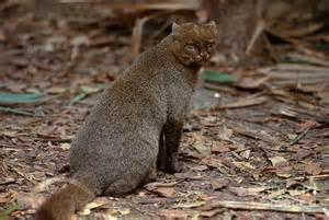 Jaguarundi is a photograph by art wolfe which was uploaded on july