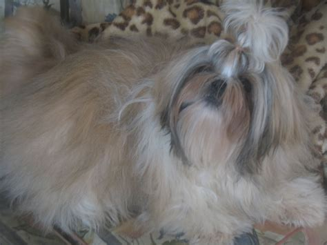gold and white shih tzu shih tzu gold and white wetherby west pets4homes