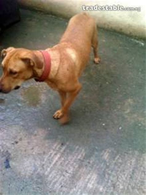 boerboel and rottweiler crossbreed you need a security 2yr pitbull and boerboel cross breed pets nigeria